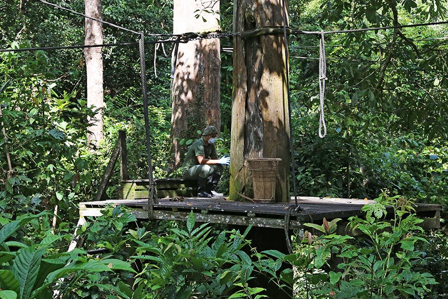 Sabah, Malaysia: An up close and personal encounter with an orangutan in its natural habitat at Sepilok Orangutan Rehabilitation Centre.