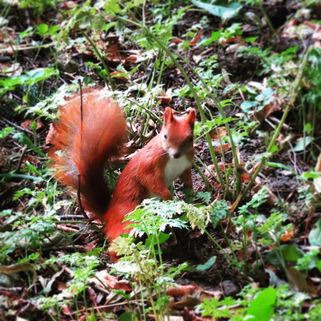 Red squirrel in Łazienki Park in Warsaw, Poland