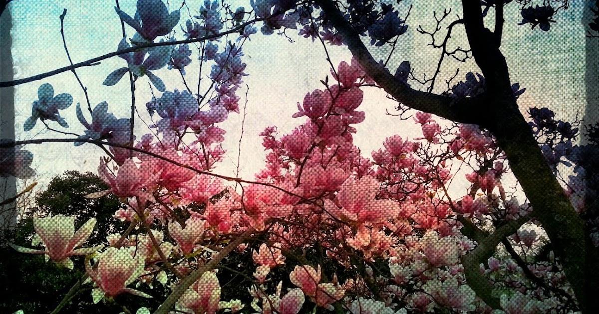 Poesia / Frammento 10 (Magnolia).