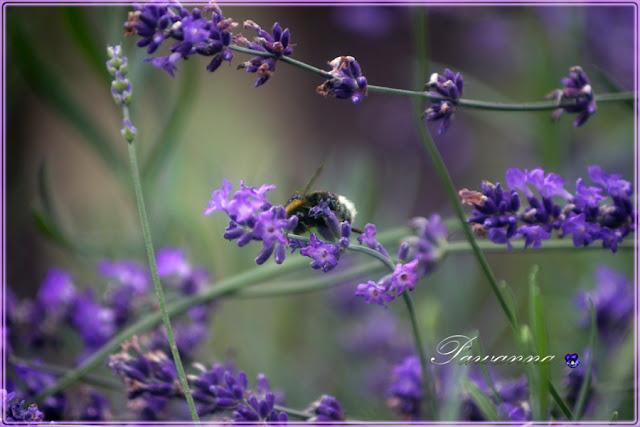 lavender, lavender and bee, lavender and butterfly, lavender candles, lawenda, owady na lawendzie, lawendowe świeczki, decoupage na słoikach