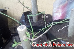 Cara stek pohon serut menggunakan bawang merah sebagai perangsang akar