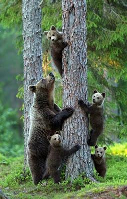 fotografia del reino animal osos