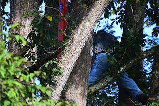 man in Pochote tree