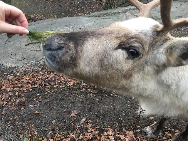 Dando de comer a los renos de Papá Noel en el parque de Skansen (Estocolmo) (@mibaulviajero)