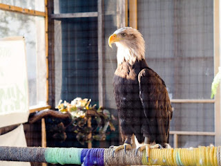 Bald Eagle in Peoria Clinic, Illinois