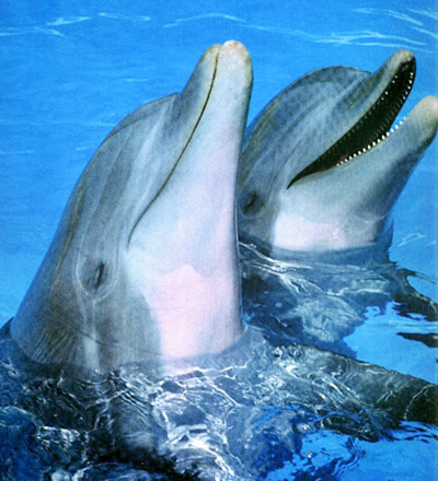 Casal de golfinhos - Sorriso na Web