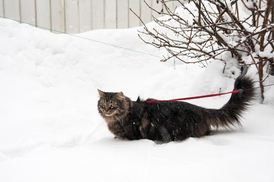 Ruskea pitkäkarvainen kissa kahlaa lumihangessa.