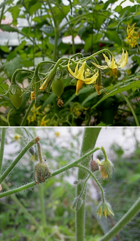 Controlling Blossom Drop Of Tomatoes