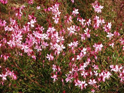 Il giardino sfumato gaura un volo di farfalle for Giardino fiori