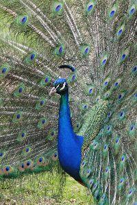 Dongeng Burung  Merak  yang Berbulu Indah dan  Gagak Si Pengejek