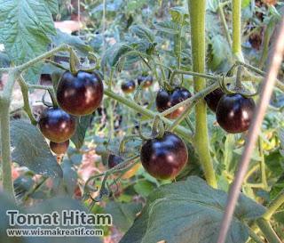 Jual Benih dan Bibit Tomat Hitam Harga Bersahabat
