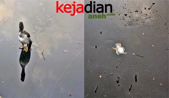 Aksi Heroik Pria Selamatkan Bebek Tenggelam Di Danau Es