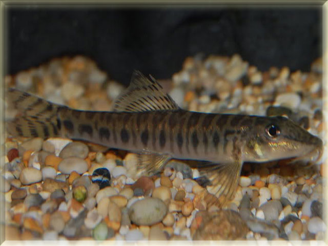 Zipper Loach Fish