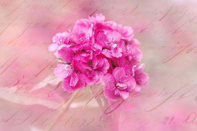 ý nghĩa hoa cẩm chướng