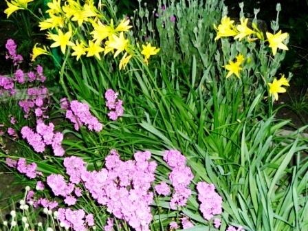 в саду цветут лилии