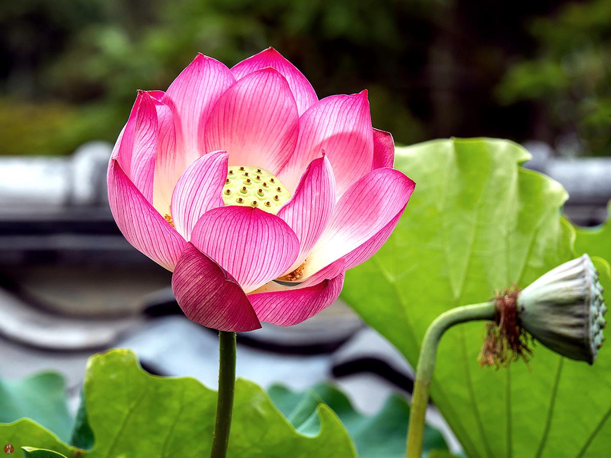 From the garden of zen sacred lotus flower kencho ji sacred lotus flower kencho ji izmirmasajfo