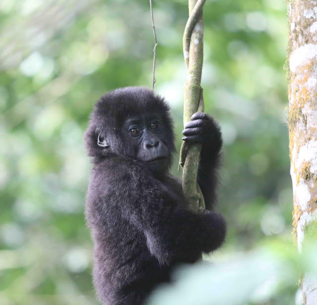 Historical genomes reveal recent changes in genetic health of eastern gorillas