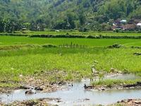 Akibat banjir, 25 Hektar Lahan Sawah Gagal Tanam