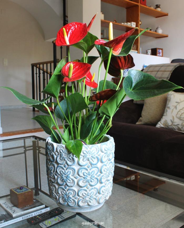 Anturio una planta de interior muy ornamental guia de for Jardines de anturios
