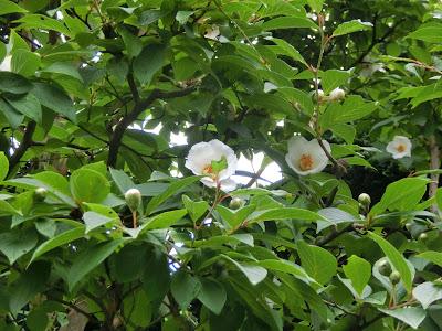 成就院の沙羅双樹