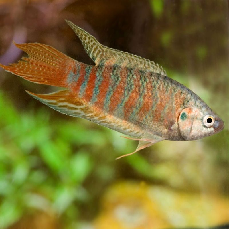 wild betta macrostoma