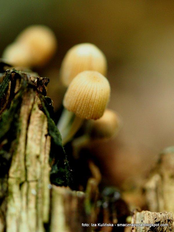 czernidlak, na pienku, grzyby, grzybobranie, male grzybki, grzyby