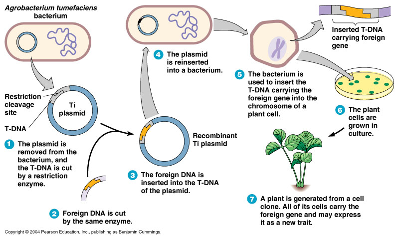 Genetically modified plants process - photo#40