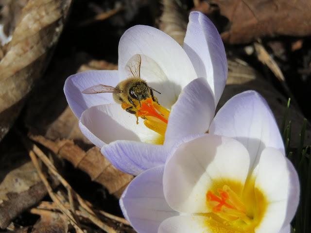 Krokus - matfat for insekter