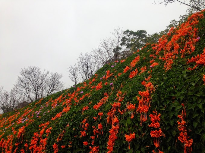 苗栗【銅鑼】砲杖花步道-環保公園,農曆過年前後大盛開
