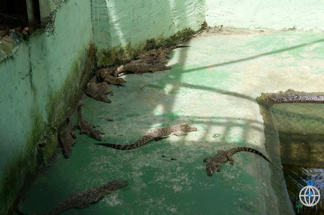 krokodylki perłowe kuba