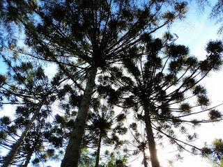 Araucárias no Parque das Cachoeiras, Vacaria