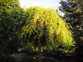 Willow tree with bright green leaves.