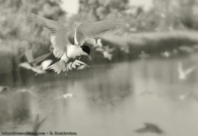 common tern diving for fish