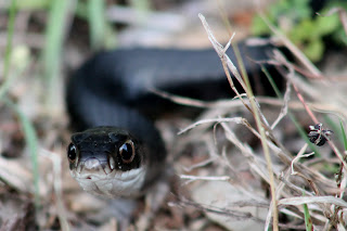 Racer (Coluber Constrictor Priapus)
