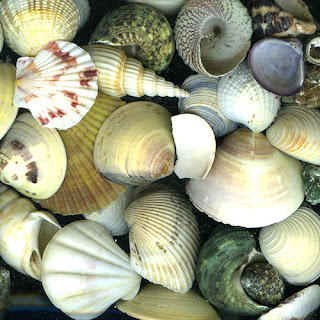 2.5 lbs of Sea Shell for home decor accents