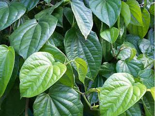 Hoja de betel para la tos seca