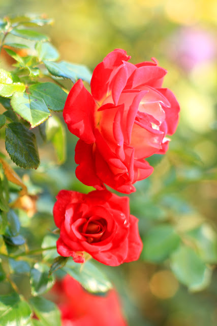 Beautiful Red Roses - Flower Photography by Mademoiselle Mermaid