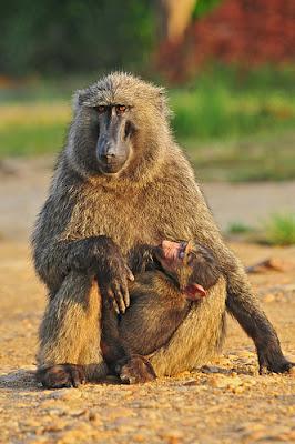 Primates in Uganda, Safaris in Uganda, Safari Africa, primate safaris in Uganda