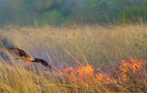 Wah Ternyata Burung Juga Bisa Sebabkan Kebakaran Hutan Lho?