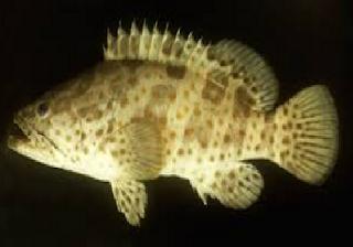 Cara Budidaya Ikan Kerapu Hasil Maksimal