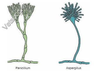 Hình 1: Hình sợi nấm Aspergillus Và Penicillium