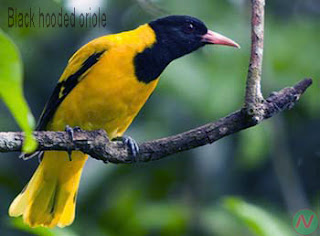 black hooded oriole bird, বেনেবউ