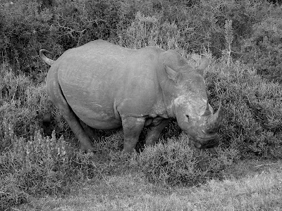 Rhino, black & white, Kruger National Park, South Africa, safari