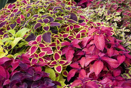 coleus the garden of eaden, Beautiful flower