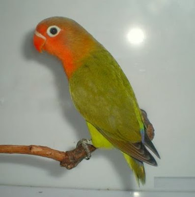 Lovebird Misty
