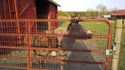 two miniature donkeys biting at gate