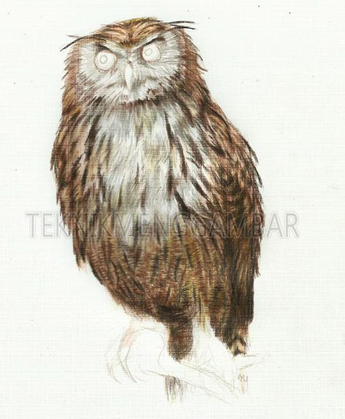 Gambar Burung Hantu Berwarna Gambar Burung Hantu