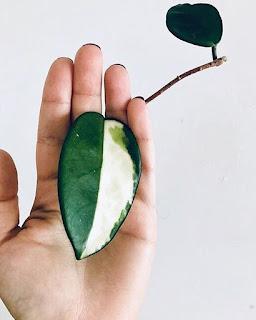 Hoja variegata