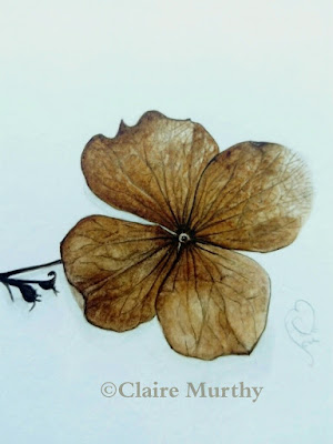 botanical painting of hydrangea watercolour