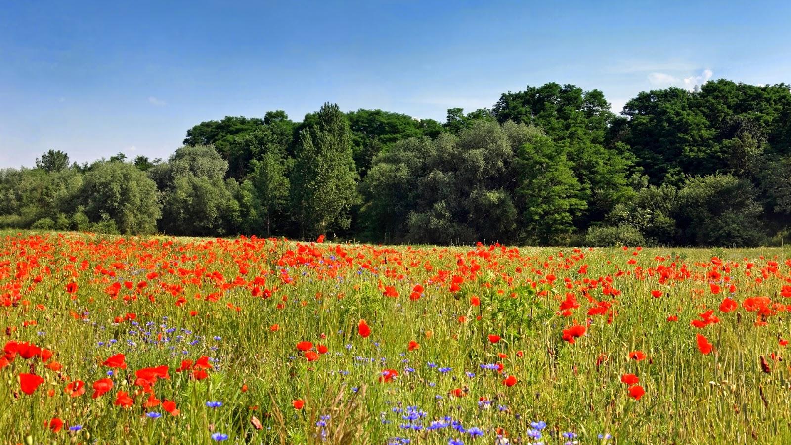 tulpen achtergrond met een - photo #35